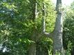 Deux hêtres de Difflot | RF Liège