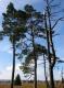 GR 573 Vesdre Hautes Fagnes - pins noirs